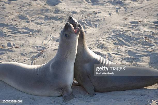 Elephant seals (Mirounga angustirostris) on beach
