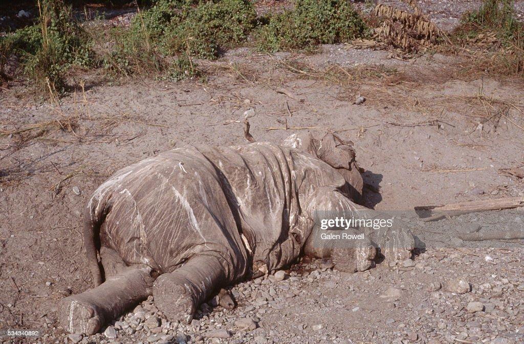 Elephant Shot By Poachers