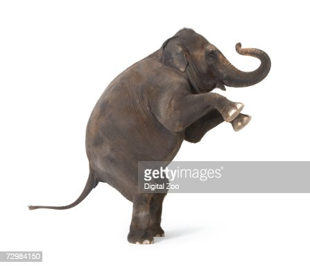 Elephant standing on hind legs, performing trick