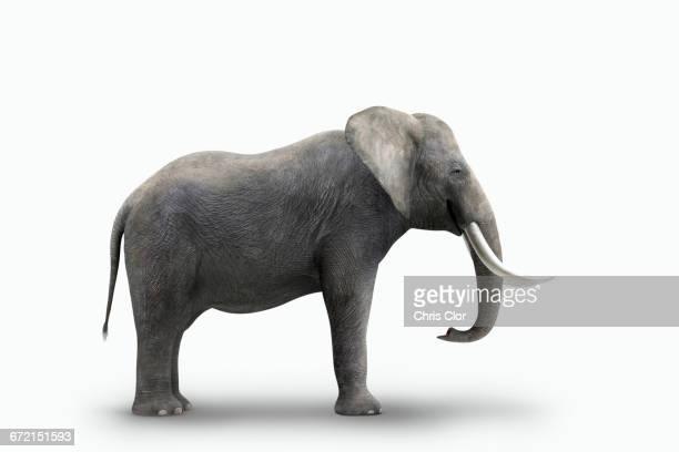 Elephant standing on white background
