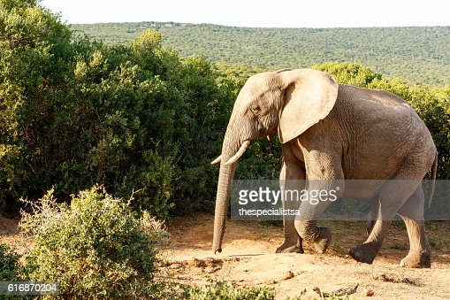 Elephant taking a walk looking so lonely : Stock Photo