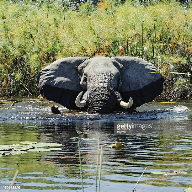 Elefant mit Bad in Feuchtgebieten mit papyrus, Okavango Delta, Botswana