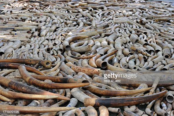 Elephant tusks are displayed before they are destroyed at a ceremony at the wildlife bureau compound in Manila on June 21 2013 The Philippines began...