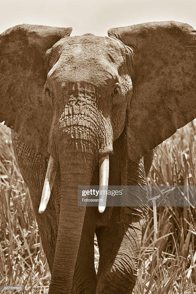 Elephant walking in swamp