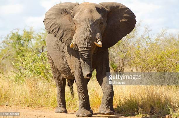 Elefante a andar-África do Sul