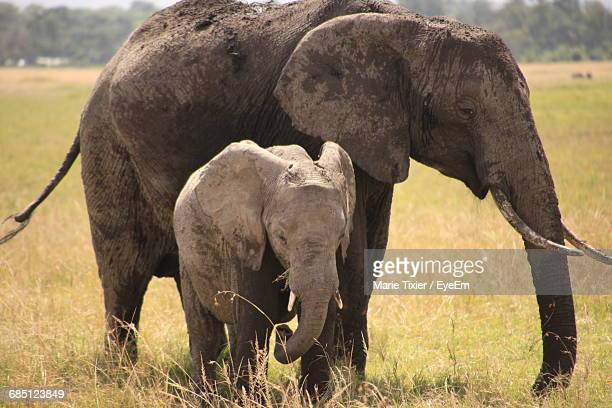 Elephant With Family