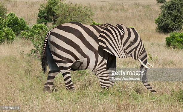 Elephant with zebra camouflage