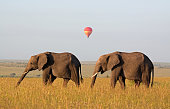 Elephants and distant balloon