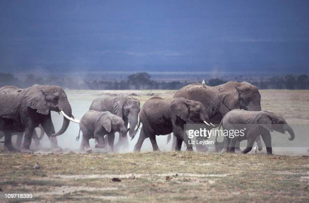 Elephants and dust, Amboseli
