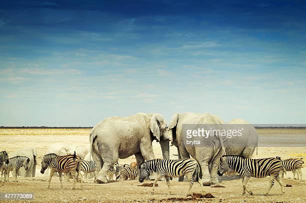Elephants and zebras in Etosha National Park