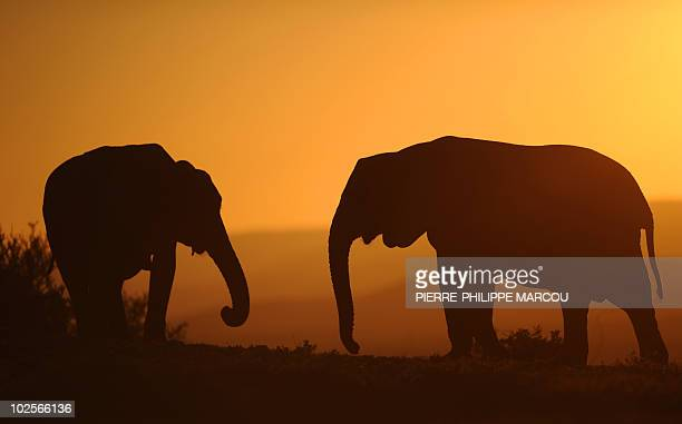 Elephants are pictured at Addos Elephant National Park some 70 km from Port Elizabeth in South Africa on July 1 2010 AFP PHOTO / PIERREPHILIPPE MARCOU