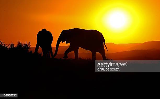Elephants are pictured at sunset in Addo Elephant Game Reserve near Port Elizabeth in South Africa on July 1 2010 AFP PHOTO/Carl de Souza