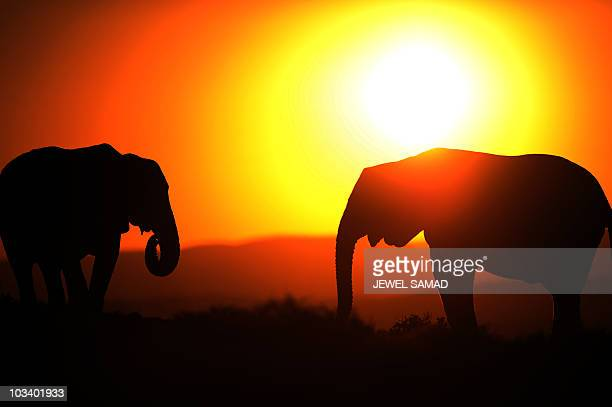 Elephants are pictured at sunset in Addo Elephant Game Reserve near Port Elizabeth in South Africa on July 1 2010 AFP PHOTO/Jewel SAMAD