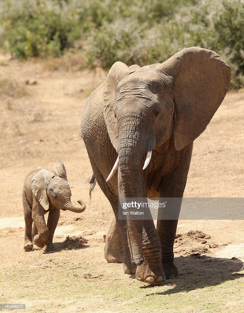 Elephants are pictured in Addo National Park on February 9, 2013 in Addo, South Africa.