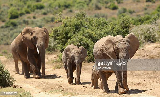 Elephants are pictured in Addo National Park on February 9 2013 in Addo South Africa
