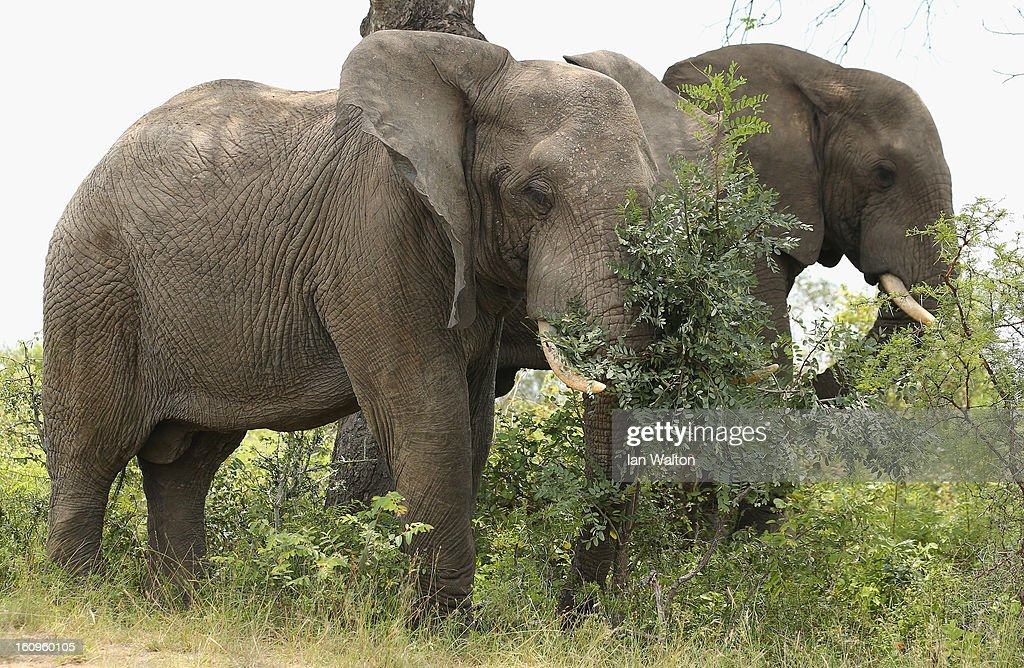 A elephants are pictured in Kruger National Park on February 6, 2013 in Skukuza, South Africa.