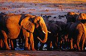 Elephants ( Loxodonta africana ) at a waterhole at sunset