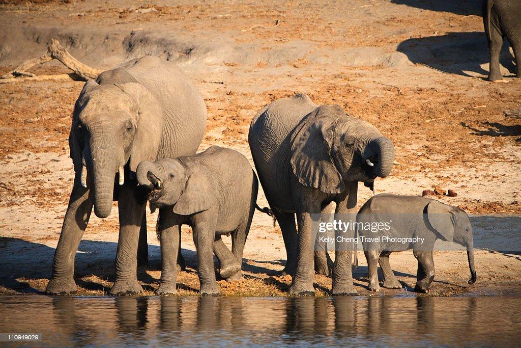Elephants at Chobe National Park : Stock Photo