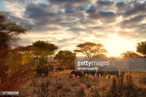 Elephants at dawn, Tanzania