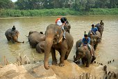 Elephants cooling off in a river during the King's Cup Elephant Polo tournament at Chiang Rai in northern Thailand 2010