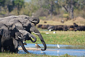 herd of elephants drinking from the river with herd of buffalo in background