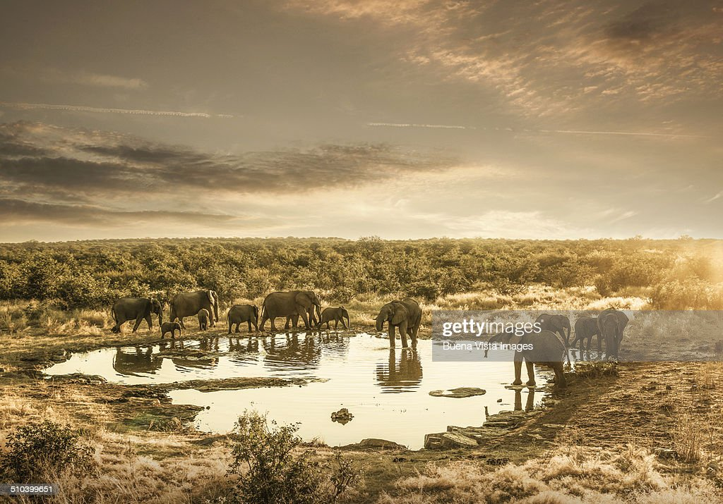 Elephants drinking at a pond