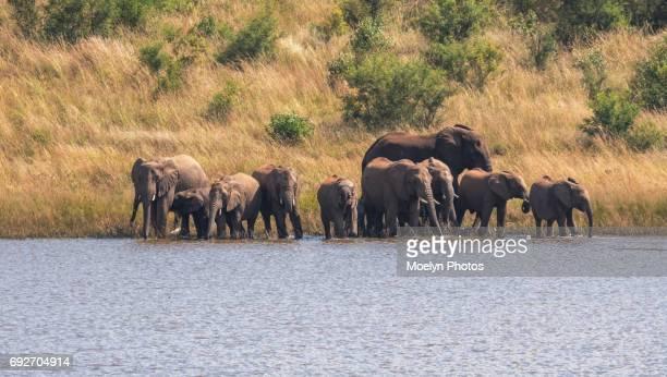 Elephants Drinking Water-Pilanesberg NP-HDR