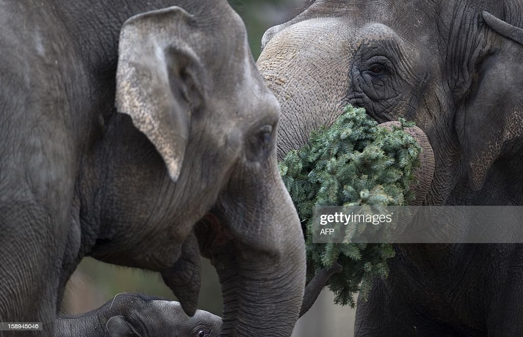 Elephants enjoy some Christmas trees on January 4, 2013 at the Zoologischer Garten zoo in Berlin. Traditionally, elephants at the Berlin zoo are given for food the trees that were left over from Christmas tree sale during the first days of January.