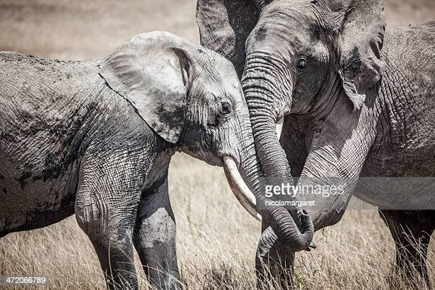 Elephants fighting, Africa