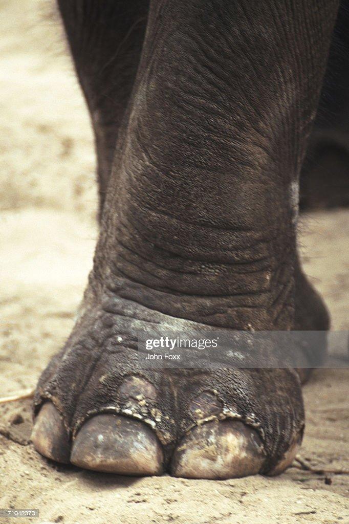 elephant's foot : Stock Photo