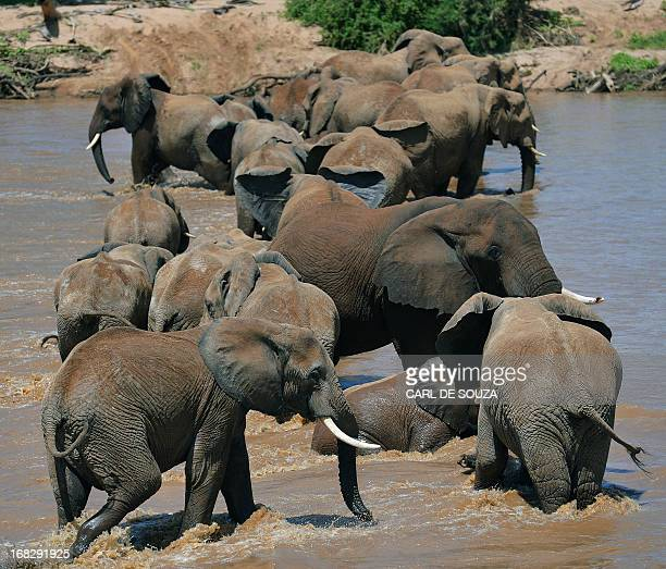 Elephants ford the Ewaso Nyiro river in Samburu game reserve on May 8 2013 UNEP goodwill ambassador and Chinese actress Li Bingbing was on an...
