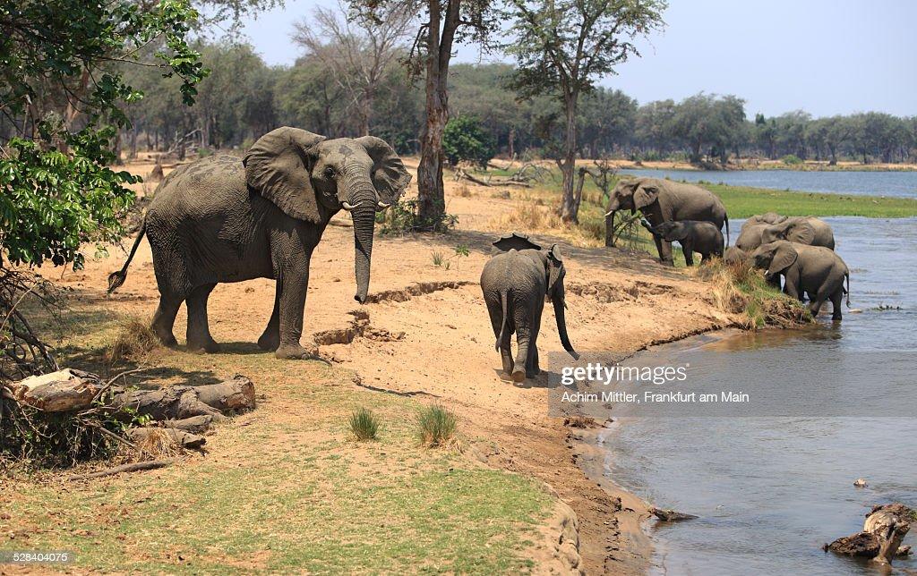 Elephants having a drink at Zambezi river
