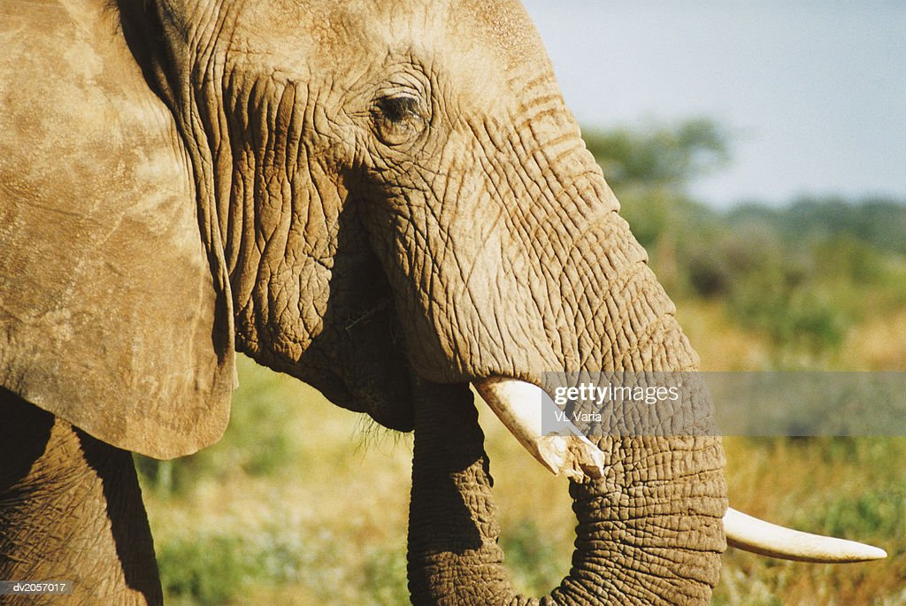 Elephant's Head With a Damaged Tusk : Stock Photo