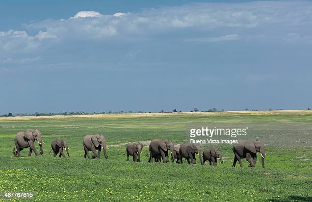 Elephants (Loxodonta africana) in a green grasslan