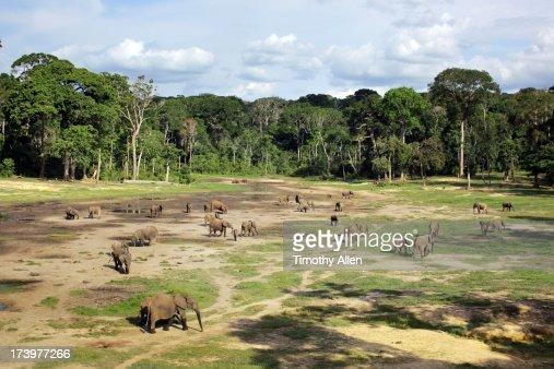 Elephants in Dzanga-Sangha Special Reserve