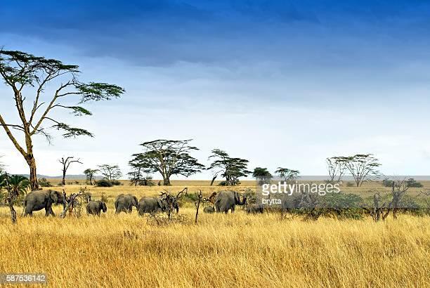 Elephants in the savannah,Serengeti National Park,Tanzania
