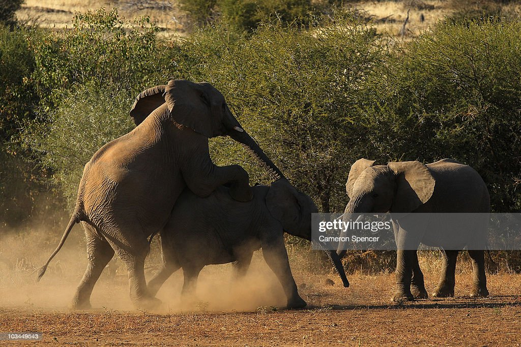 Elephants interact at the Mashatu game reserve on July 26, 2010 in Mapungubwe, Botswana. Mashatu is a 46,000 hectare reserve located in Eastern Botswana where the Shashe river and Limpopo river meet.