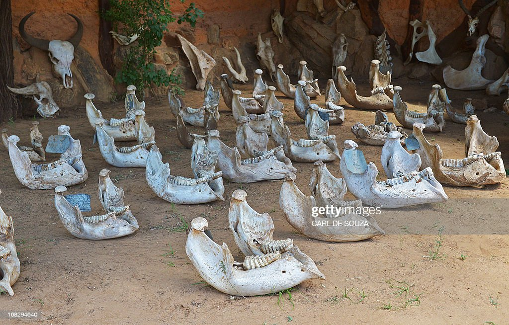 Elephant's lower jaws are displayed outside the Save the Elephants centre in Samburu game reserve on May 8, 2013. The jaws belong to a mixture of both poached elephants and elephants who have died of natural causes. The jaws can be used to determine the age and sex of the elephant after it dies. UNEP goodwill ambassador and Chinese actress Li Bingbing was on an official visit in Kenya to highlight issues of Africa's poaching crisis. AFP PHOTO/Carl de Souza