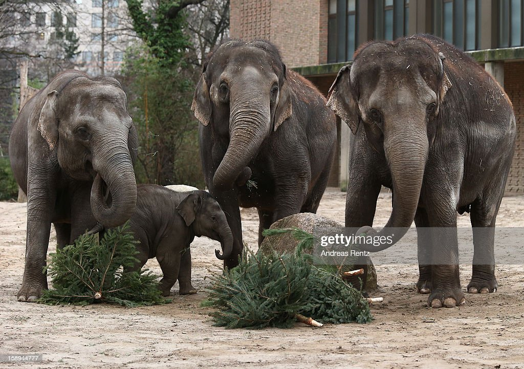 Elephants munch on Christmas trees in their enclosure at Berlin's Zoologischer Garten zoo on January 4, 2013 in Berlin, Germany. Traditionally the animals are given leftover Christmas trees in the first week of the New Year