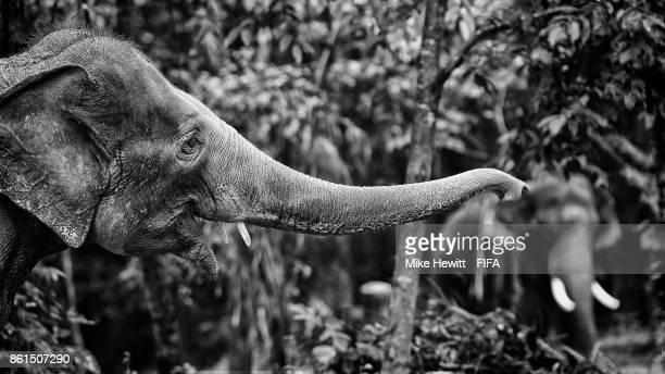 Elephants on display at the Kodanad Elephant Centre during the FIFA U17 World Cup India 2017 tournament on October 15 2017 near Kochi India