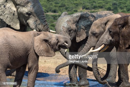 Elephants : Stock Photo