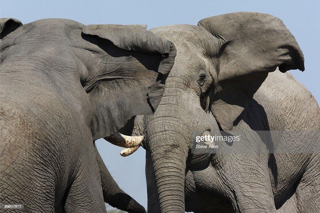 Elephants  : Stock Photo