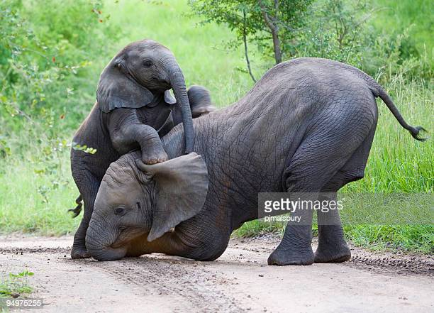 Elephants playing together in jungle