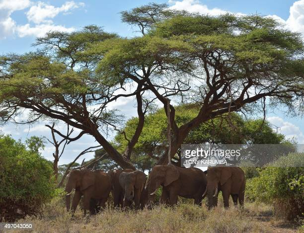 Elephants rest in the shade of a flame tree at the Amboseli national reserve November 13 2015 at the foot of Mt Kilimanjaro The first delegation of...