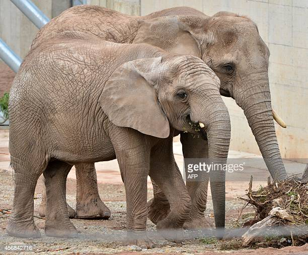 Elephants Safari and Chupa walk in their enclosure on October 8 2014 in a zoo in Erfurt Germany AFP PHOTO / DPA/ MARTIN SCHUTT /GERMANY OUT