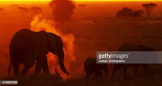 Elephants sunset dustbath