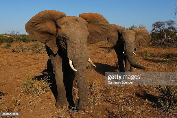 Elephants walk around and eat foliage at the Mashatu game reserve on July 26 2010 in Mapungubwe Botswana Mashatu is a 46000 hectare reserve located...
