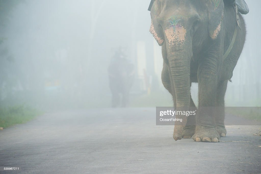 Elephants walking in the fog, Nepal : Stock Photo