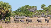 family of elephant walking in the bushland in africa - national park selous game reserve in tanzania
