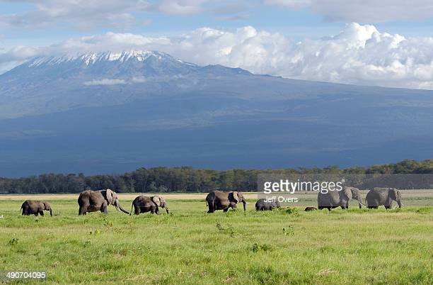 Elephants walking through the grasslands of Amboseli National Park in Kenya The Park is on the border with Tanzania and Mount Kilimanjaro overlooks...